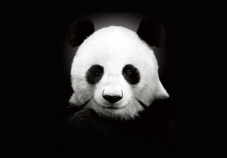 Panda In The Dark Picture for Android, iPhone and iPad