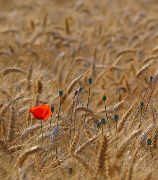 Red Poppy In Wheat Field sfondi gratuiti per Nokia Lumia 925