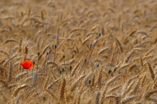 Red Poppy In Wheat Field Background for Android, iPhone and iPad