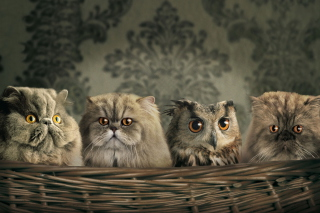 Kostenloses Cats and Owl as Third Wheel Wallpaper für Samsung Galaxy Tab 4G LTE