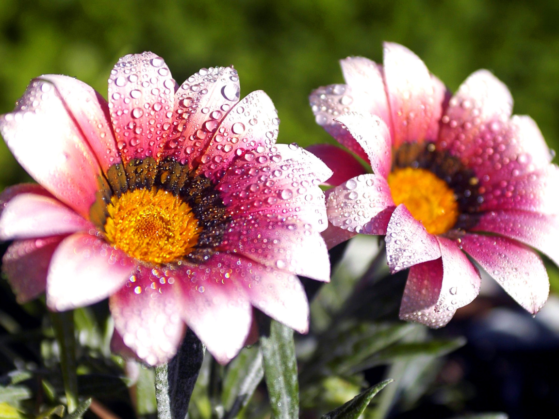 Screenshot №1 pro téma Macro pink flowers after rain 1152x864