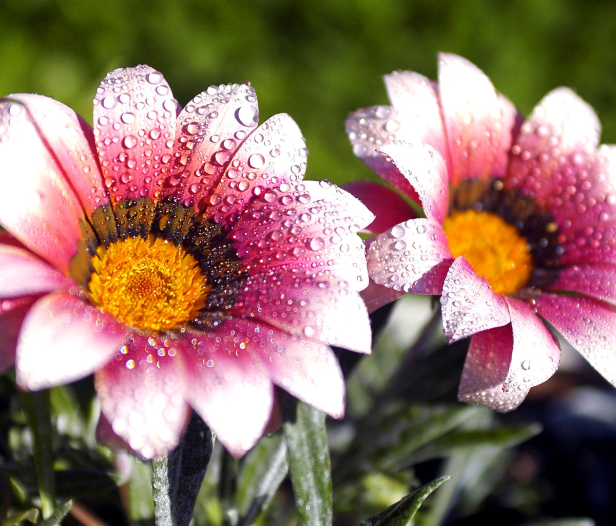 Screenshot №1 pro téma Macro pink flowers after rain 1200x1024