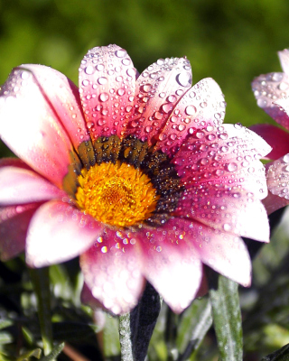 Macro pink flowers after rain sfondi gratuiti per iPhone 6