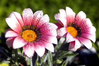 Macro pink flowers after rain sfondi gratuiti per cellulari Android, iPhone, iPad e desktop