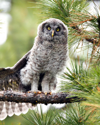 Free Owl in Forest Picture for Nokia Asha 306