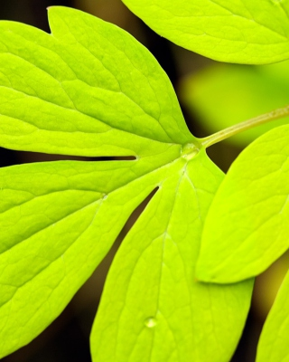 Free Green Leaf Picture for Nokia C2-05