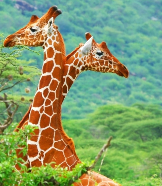 Savannah Giraffe Wallpaper for Nokia C1-01