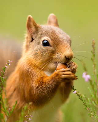 Squirrel Dinner sfondi gratuiti per iPhone 6