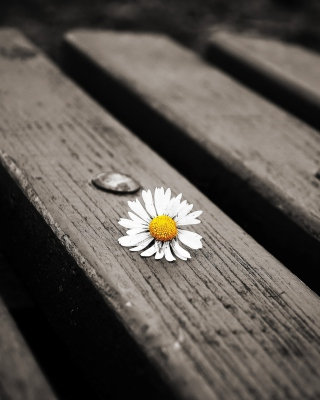 Lonely Daisy On Bench sfondi gratuiti per iPhone 6