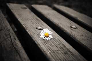 Lonely Daisy On Bench papel de parede para celular