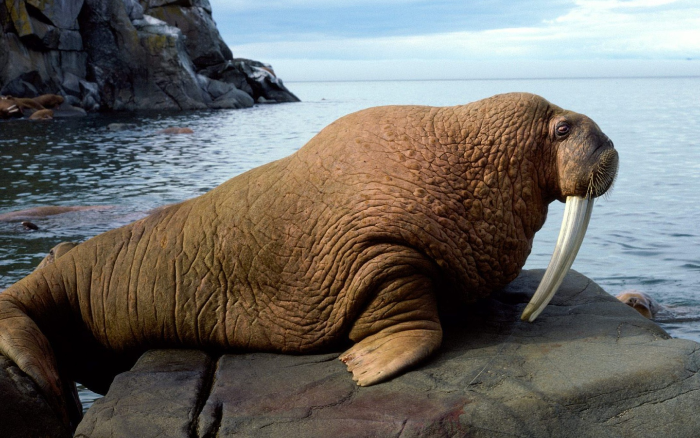 Walrus wallpaper 1440x900