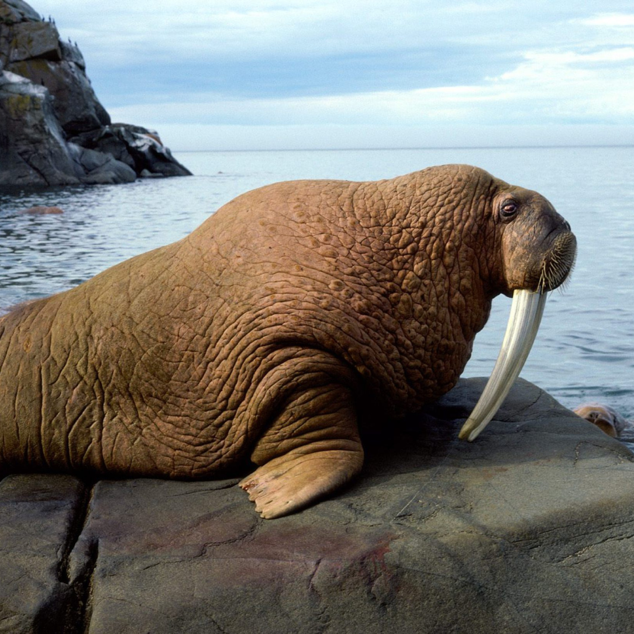 Walrus wallpaper 2048x2048
