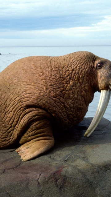 Walrus wallpaper 360x640
