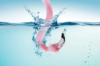 Flamingo Underwater Picture for Android, iPhone and iPad