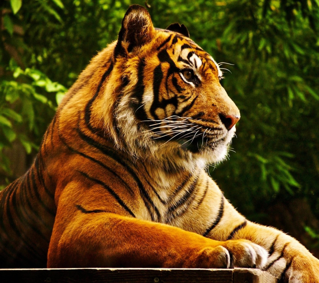 Royal Bengal Tiger screenshot #1 1080x960