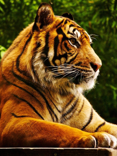 Royal Bengal Tiger screenshot #1 240x320