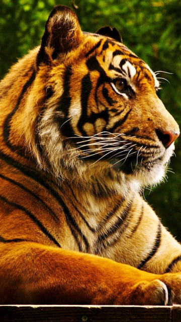 Royal Bengal Tiger screenshot #1 360x640