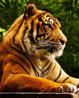 Royal Bengal Tiger sfondi gratuiti per iPhone 4S