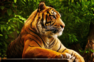 Royal Bengal Tiger Background for Android, iPhone and iPad