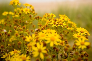 Yellow Flowers Background for 480x400