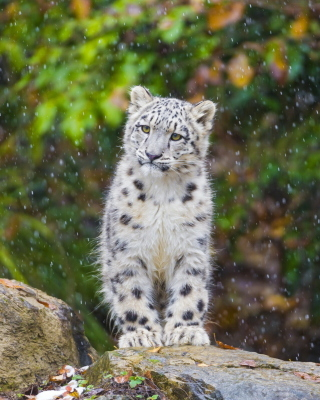 Snow Leopard in Zoo Background for 480x640