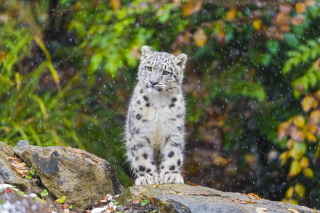 Snow Leopard in Zoo Wallpaper for Samsung Galaxy Ace 4