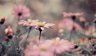 Pink Flowers Background for Android, iPhone and iPad
