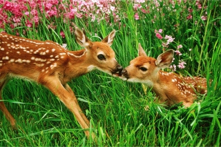 Two Deer Kissing In Grass - Obrázkek zdarma pro Widescreen Desktop PC 1600x900