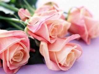 Pink Roses para Nokia Asha 201