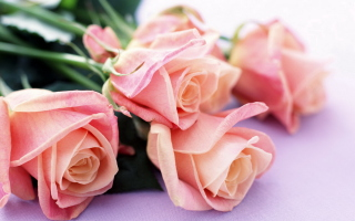 Free Pink Roses Picture for Desktop 1280x720 HDTV