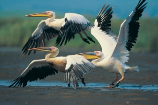 Three Pelicans Background for Android, iPhone and iPad