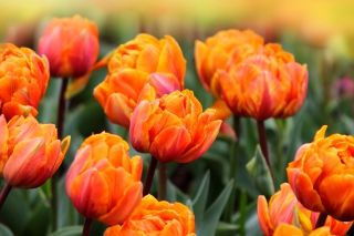 Orange Tulips Picture for Android, iPhone and iPad