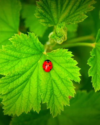 Red Ladybug On Green Leaf sfondi gratuiti per Nokia Asha 305