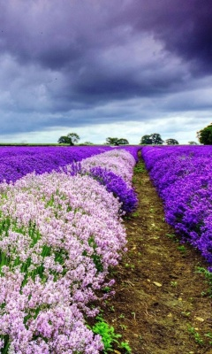 Lavender Spring in Provence wallpaper 240x400