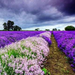 Free Lavender Spring in Provence Picture for iPad mini 2