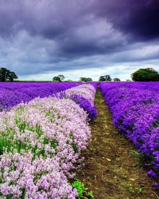 Lavender Spring in Provence Background for 240x400