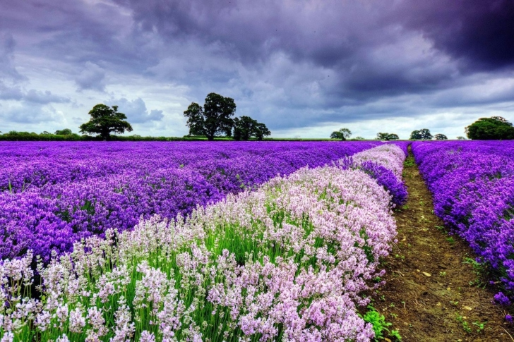 Lavender Spring in Provence wallpaper