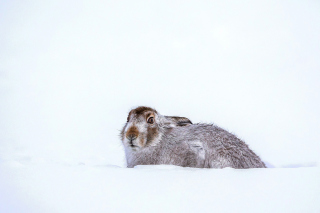 Rabbit in Snow Picture for Android, iPhone and iPad