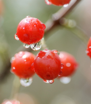 Waterdrops On Cherries Wallpaper for Nokia Asha 202