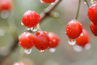 Waterdrops On Cherries Wallpaper for Android 2560x1600