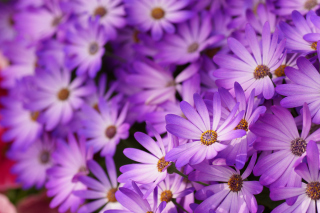 Free Purple Daisies Picture for Android, iPhone and iPad