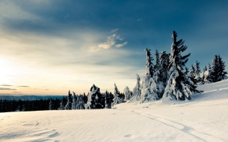 Christmas Trees Covered With Snow - Fondos de pantalla gratis