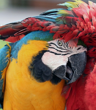 Free Colorful Macaw Picture for Nokia Asha 306