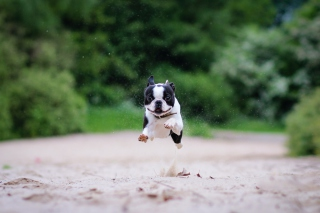Boston Terrier Picture for 1920x1080
