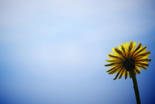 Yellow Dandelion On Blue Sky sfondi gratuiti per cellulari Android, iPhone, iPad e desktop