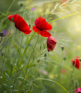 Free Lovely Poppy Flowers Picture for Nokia C1-01
