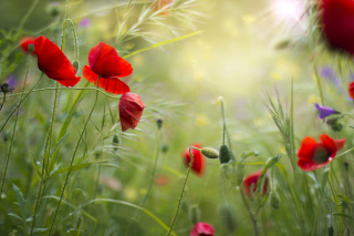 Lovely Poppy Flowers Background for Android, iPhone and iPad