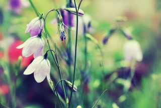 Blue Bellflowers Wallpaper for Android, iPhone and iPad