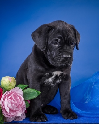 Cane Corso Puppy Wallpaper for Nokia C1-01