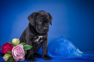 Cane Corso Puppy Background for Android, iPhone and iPad